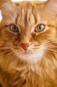Close Up Photo Of Red Fluffy Tabby Male Cat With Green Eyes poster