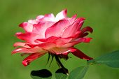 Beautiful Pink And White Rose On Healthy Bush In Landscaped Garden,  A Perfect Flower That Gardeners poster