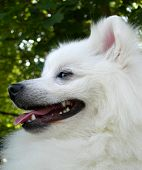 Japanese Spitz. Cute white pet dog profile