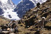 Young Lambs Explore A Rocky Crag