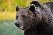 Powerful Brown Bear