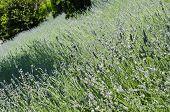 Lavender (lavandula) Field