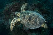 Sipadan Loggerhead Turtle Swimming