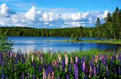 stock photo of scandinavian  - Beautiful Scandinavian summer landscape with lupin flowers and lake