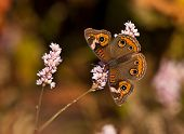 Buckeye butterfly (Junonia coenia) on fall flowers