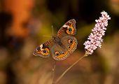 Buckeye butterfly (Junonia coenia)