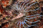 Lionfish with spread fins