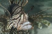 Common Lionfish With Mouth Open