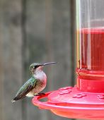 Ruby-throated Hummingbird, Archilochus Colubris, Perched