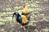 stock photo of banty  - A banty rooster struts across farm yard - JPG