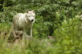 white artic wolf  Canis lupus arctos standing in nature