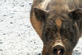 picture of pot bellied pig  - photo of a pot - JPG