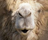 muzzle of the camel. zoo