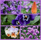Colorful collage of beautiful purple and orange flowers (includes campanula bellflowers, a torch lily or 'red hot poker', pansies, violas, and chives) taken outdoors in natural setting.