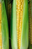 stock photo of corn cob close-up  - Corn on the cob between green leaves - JPG
