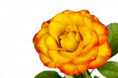 Yellow rose with reddish tinge, isolated over white background.