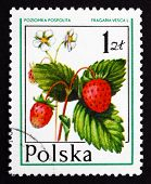 Postage Stamp Poland 1977 Wild Strawberry, Forest Fruit