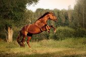 picture of clydesdale  - Beautiful bay horse rearing up at sunset in summer - JPG