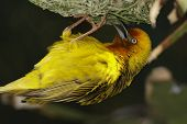 Cape Weaver Male ploceus Capensis