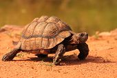 Leopard Tortoise stigmochelys Pardalis