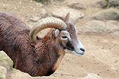 Male Goat Of Montecristo Island (capra Aegagrus Hircus)