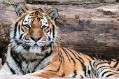 Siberiano Tigre (panthera Tigris Altaica) mentira