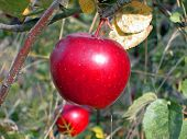 Apple Hanging On Branch