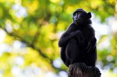 picture of macaque  - Sulawesi Crested Macaque sitting on a branch - JPG