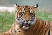 Filhote de tigre de perto