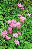 picture of loach  - Several flowers of pink clematis in the garden