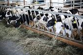 stock photo of feedlot  - Many cute small calves eat fresh hay in long stall in large farm - JPG