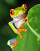 stock photo of red eye tree frog  - juvenile male red eyed green tree frog perched on leaf - JPG