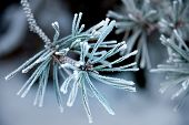 Needles Of Pine Tree With Ice Crystals