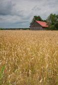 Corn Field And Barn