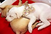 White Puppy Sleeping.