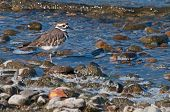 Killdeer On The Shore Line