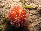 stock photo of echinoderms  - Poisonous red and yellow sea urchin on the sand - JPG