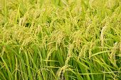 Close Up Of Well Ripened Rice In Field