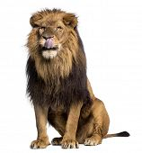 Lion sitting, licking, Panthera Leo, 10 years old, isolated on white