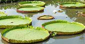Big Lotus Leaf,victoria Regia Lotus, Majestic Amazon Lily Pads