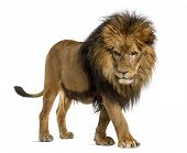 stock photo of lion  - Side view of a Lion walking - JPG