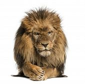 Front view of a Lion lying, crossing paws, Panthera Leo, 10 years old, isolated on white