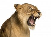 stock photo of lioness  - Close - JPG