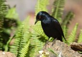 Palewinged Starling (onychognathus Nabouroup)