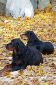 Black and brown Gordon Setter dogs