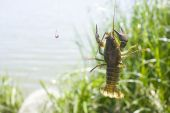 Crayfish On A Fisherman's Hook