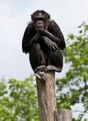 A chimpanzee on a tree