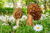 stock photo of morel mushroom  - Two Morchella esculenta or Common morel mushrooms in fresh spring vegetation among green grass and daisy flowers in sunset light - JPG