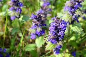 ajuga on the meadow