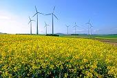 Windwheels and rapeseed
